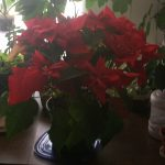 Proper Care Of The Mystical Crimson Christmas Poinsettia